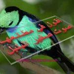 قصيدة الأصمعي - صوت صفير البلبل