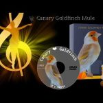 Canary Goldfinch Mule Song هجين الحسون و الكناري من أروع ما يكون 2018
