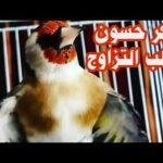 اقوى تغريد حسون يحفز الذكر يهيج الأنثى للتزاوج The strongest singer irritates the female to mate